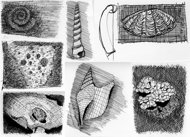 Line Drawing Natural Forms : Shell drawings proboscis